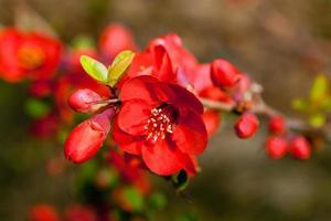 röda vårblomningar foto