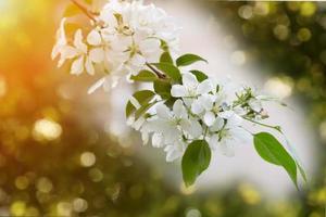 blommande äppelträd gren selektivt fokus mjuk oskärpa tonas foto