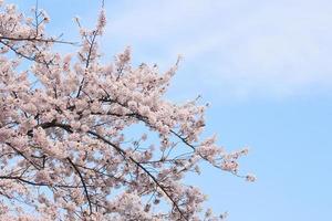 fullblommade körsbärsblommor foto