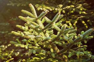 barrträd foto