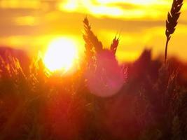 solnedgång över vetefält