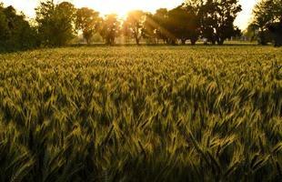vetefält på kvällen foto