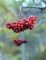 röd mogen rönn på en gren