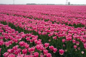 fält med rosa tulpaner foto