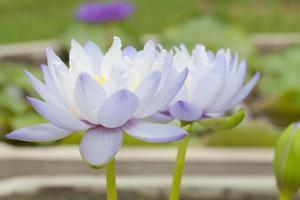 lila lotusblomma foto