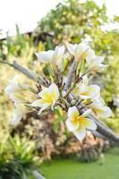 plumeria blomma