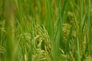 risfält närbild