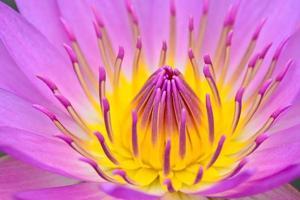 purpur gul näckros för abstakt bakgrund
