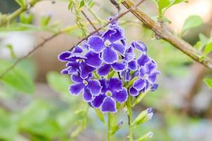 lila duva bärblomma i trädgården