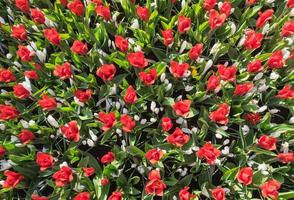 röda tulpaner och vit krokus foto