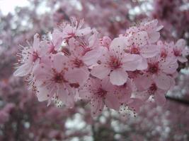 rosa körsbärsblom.