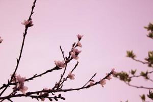 körsbärsträd foto