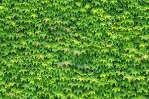 murgröna foto
