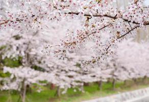 körsbärsblom i Japan foto