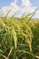 landsbygdens landskap av risfält