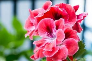 mjuka röda blommor