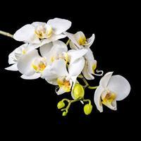 vacker blommande gren vit orkidé med dagg, phalaenopsis foto