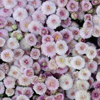 aster blomma bakgrund