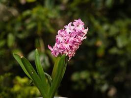 hemblommaserie, hyacint