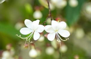 närbild vit härlig blomma (clerodendrum wallichii, clerodendrum nutans, brudslöja) foto