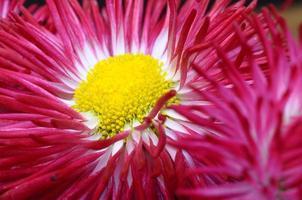 närbild av rosa tusenskönablomma foto