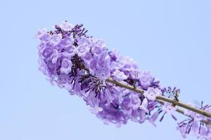 jacaranda blommor foto