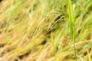 närbild av gyllene risfält i risfält.