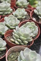 hybridisering suckulent, graptoveria titubans, crassulaceae foto