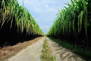 sockerrörsplantage foto