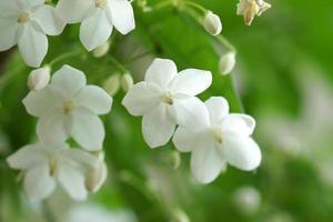 makroskott av vita blommor är doftande (wrightia religiosa ben foto