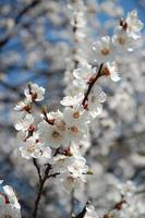 aprikosblommor foto