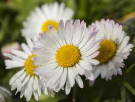 tusensköna blommor foto