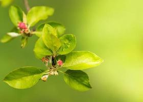 rosa blomknoppar