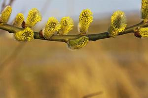 grenar av blommande gula kattar. foto