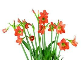röd amaryllisblomma på vit bakgrund foto