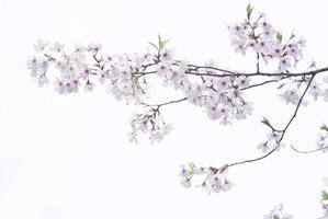 körsbärsblommor bild