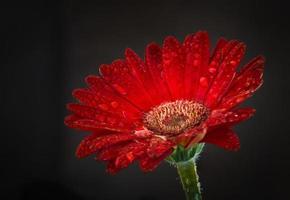 röd gerbela med vattendroppe foto