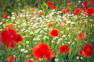 röda vallmo i ett soligt fält foto