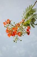 flam boyant blomma