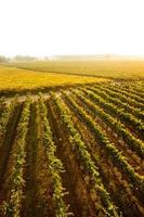 vingård i Napadalen foto