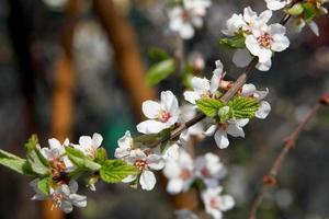 körsbärsblom på en bakgrund