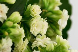 kalanchoe blommor bakgrund presentkort retro gammal selektiv mjuk fokus foto