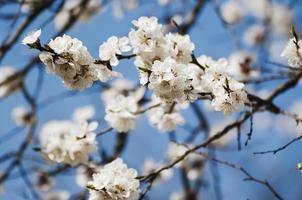 aprikosträdblomma foto