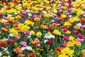 fält av tulpaner foto