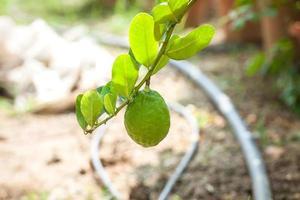 citronträd med frukter