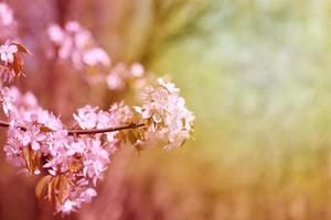 foto körsbärsblommor