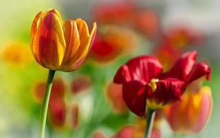 vackra våren tulpaner
