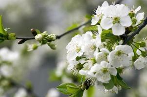 körsbärsblommar närbild över naturlig bakgrund foto