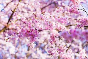 vacker körsbärsblom, rosa sakura blomma foto