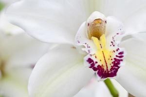 vita orkidéer foto